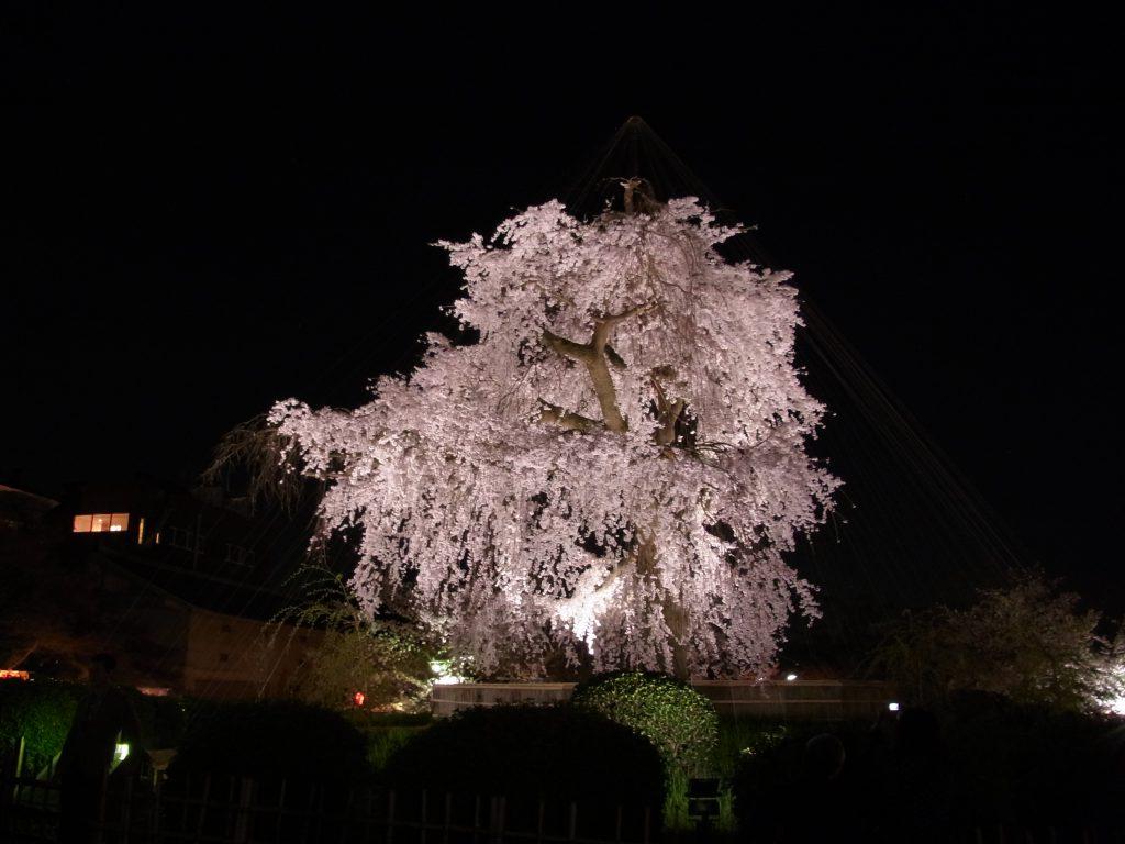京都は桜がきれいな時期です(円山公園)